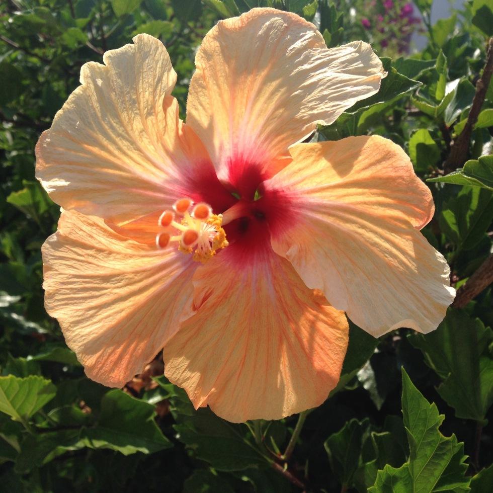 pretty flower apricot